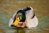 DSC00562 (jorgeaq) Tags: sonyalpha700 tamron70300 anade anadereal pato duck ave pajaro tamronaf70300mmf456dildmacro