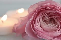 ~romance~ (© mpg) Tags: valentine'sday valentine mpg2018 romance macro rose pink flame candle macromondays closeup macrodreams flower hmm valentinesday