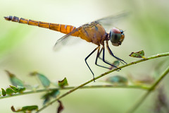 Dragonfly (Patrick Foto ;)) Tags: animal autumn background beautiful beauty black blue bright bug card close closeup colorful costner dragon dragonfly environment eye fauna fly green insect isolated kevin landscape leaf macro movie natural nature odonata orange outdoor park plant red resting sitting summer up white wild wildlife wing wings yoga bangkok krungthepmahanakhon thailand th