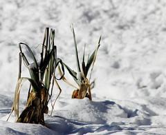 Poireaux de neige (ZUHMHA) Tags: villaudemard france neige snow hiver winter nature montagne mountain vegetable poireaux foliage feuille matière texture légume