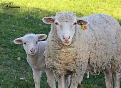 Mum (AndreiaFMS) Tags: lamb sheep sheeps ovelha ovino ovelhas ovine ovinos ovisaries cordeiro baby little pequeno bebé borrego mum family son