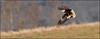 (c)WMH_2018_02_06_7670 Eagle with Blurred Background.jpg (WesleyHowie) Tags: wildlife birds americanbaldeagle raptor