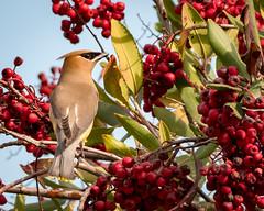 Cedar Waxwing (Becky Matsubara) Tags: avian bird birds bombycillacedrorum cewa california cedarwaxwing ebrpd eastbayregionalparks jaseurdamérique nature outdoors pointpinole pointpinoleregionalshoreline ptpinole waxwing wildlife ebparksok