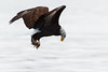 I Think I Caught It (TroyMarcyPhotography.com) Tags: 20windchill action americanbaldeagle beautiful bird canon400mmf56l canon7d cloudy illinois iowa january mississippiriverbaldeagles2018 overcast cold nature wildlife