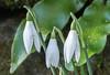 The Snowdrop (February fair-maid) (Julian Chilvers) Tags: flower snowdrop tennyson poem nationaltrust kingstonlacy
