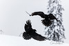 Flying ravens (CecilieSonstebyPhotography) Tags: bokeh wings winter birds ravens canon snow norway january tree canon5dmarkiii fallingsnow markiii snowflakes white bird snowing