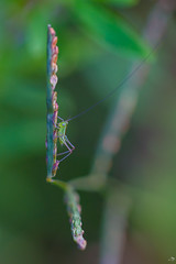 Petit monde (alain_did) Tags: beauty naturelover capturethemoment seethebeautyaroundyou nature naturallight green insectes sauterelle macro macrovision macroshoot amazonie amazonia guyanefrancaise