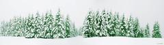 Urkiolako izeiak (Jabi Artaraz) Tags: jabiartaraz jartaraz abeto panorámica nieve frío invierno winter bosque árboles nature natura