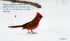 Cardinal rouge - Northern Cardinal (MichelGuérin) Tags: 2018 birds canada cardinalrouge cardinaliscardinalis exterior extérieur janvier lightroomcc michelguérin nature nikon nikonafsnikkor200500mmf56eedvr nikond500 northerncardinal oiseaux qc québec refugefauniquemargueritedyouville châteauguay ca