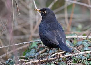 Eurasian Blackbird DSC_3228