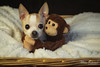 Pica and the Monkey.jpg (mraderstorf) Tags: 2018 hug sheepskin smile chihuahua mammal plushy nikond700 canine like 52weeksfordogs blanket animal monkey perro 36548 whiskers fur love pica basket nikon50mmf14 dog ear 365project eye 752 stuffed project365 toy