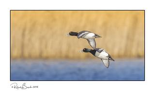 Tufted ducks (Aythya fuligula) in flight