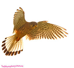 High flier (Ted Humphreys Nature) Tags: kestrel raptors birdsofprey germany tedhumphreysnature