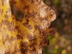 PEEPHOLE (2) (Rob Patzke) Tags: leaf bokeh lumix lx100 autumn brown hole panasonic nature