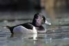 Ring-necked Duck (brian.bemmels) Tags: aythya collaris aythyacollaris ringnecked duck ringneckedduck nature outdoors wildlife bird reifelbirdsanctuary delta bc britishcolumbia canada