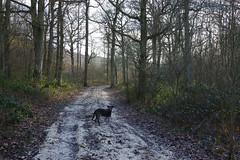 Max walking along a chail trail through Denge Woods..... (favmark1) Tags: max dog denge dengewoods bonsai bonsaibank winter walk trail chalk