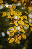 Autumn Leaves [10.12.17] (Andrew H Wagner | AHWagner Photo) Tags: 5dmk3 5d3 5dmkiii 5dmarkiii 5dmark3 bokeh dof nature trees tree leaves outdoors explore exploration exploring hiking canon eos 135l 135mm f2 f2l leaf autumn fall golden yellow red orange maryland md