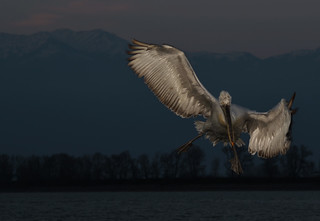 Flash on a Dalmatian pelican