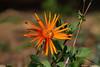 Wild Flower (leendert3) Tags: leonmolenaar nature wildflowers southafrica drakensbergmoutains coth5 ngc npc