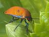 Hibiscus Harlequin bug Female P1088308b (Mike G Gordon) Tags: hemiptera scutelleridae tectocoris diophthalmus hibiscus harlequin cotton sydney