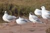 Black-headed Gulls (steve happ) Tags: azemmour blackheadedgull chroicocephalusridibundus morocco