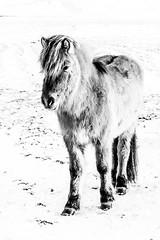 iceland-horses-single-1-2 (berkeleyhomes-dot-com) Tags: copyright2018iraserkes westernregion iceland is