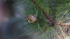 Goldcrest of the day (3/3) : during a cold day of winter (Franck Zumella) Tags: bird small oiseau petit smallest goldcrest roitelet huppe huppé kinglet animal nature tree arbre wildlife green yellow sauvage vie vert jaune sony a7s