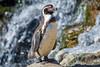 Shiny background (Andriy Golovnya (redscorp)) Tags: magellanicpenguin magellanic penguin magellanpinguin munich hellabrunn zoo bird