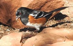Spotted Towhee #3 (beautyinature4me) Tags: bird avian spottedtowhee sedona arizona december2016