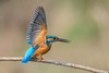 Eisvogel (Alcedo atthis) (Silu Junior) Tags: kingfisher eisvogel bird vogel nature natur wildlife nikon sigma animal tier