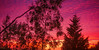 The Colours of Sunset (el-liza) Tags: sunset nature outdoor outside plant trees evening dusk vibrant colourful park australia red purple