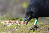 Jean-Luc Wolf_2018-02-18_11-23-28 (Jean-Luc Wolf) Tags: corneille oiseaux parcdesceaux sceaux antony îledefrance france fr
