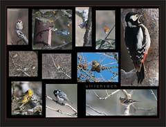 KUS850-5695 (Weinstöckle) Tags: feldsperling blaumeise tannenmeise rotkehlchen buntspecht erlenzeisig bergfink kleiber vogel