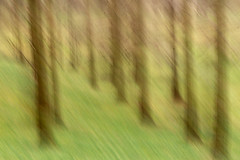 Two Valleys - 20180304_3 (Graham Dash) Tags: daffodilvalley icm twovalleys virginiawater windsorgreatpark blur intentionalcameramovement trees