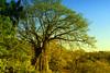 Ein Baum... (RiversideMovie&Pictures Wildlife) Tags: baum boccanosara costarica pazific riomontana rionosara sonnenuntergang sunset