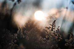 Feel the sun II (Ir3nicus) Tags: 85mm14g ausen bokeh natur pflanze sonne outdoor afsnikkor85mm114g germany niederrhein sunny nikon d700 dslr fullframe fx nature plant sun deutschland