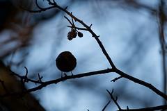 Goldcrest (Regulus regulus) (jhureley1977) Tags: goldcrest regulusregulus birds birding birdsofbritain britishbirds ashjhureley avibase naturesvoice bbcspringwatch rspbbirders ashutoshjhureley rspb stockerslake rickmansworth