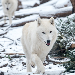 white wolves (ewaldmario) Tags: scbr schönbrunn sibirischerwolf winter wolf zoovienna wien wolves white whitewolf animal ewaldmario snow couple wildanimal austria lupus nikon sibirean