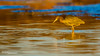 Little Golden Blue (RRcoleJR Photography) Tags: 1 animalia ardeidae armandbayou aves avian beautiful bird blue calm chordata egretta egrettacaerulea gulfofmexico heron horsepenbayou houston hunting littleblueheron orange pelecaniformes red texas usa water yellow alone bay bayou calming fullbody glow golden goldenhour goldenlight hunger hungry individual lake marsh marshland marshy ocean pond predator profile side sideview sideways single sunrise swamp swampland swampy zen