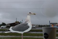Hood Ornament (Mïk) Tags: swellday january182018 beach hightide 30ftswells pacificocean seagull coffee oceanshoreswa washington notheotherwashington oceanshoresconventioncenter