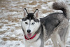 Miss Grace (Save-A-Pet Adoption Center) Tags: missgrace saveapet dog female husky 2018