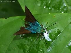Astraptes creteus (LPJC) Tags: villacarmen butterfly manu peru 2016 lpjc astraptescreteus skipper