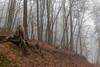 Forest (Nereus[GER]) Tags: forest woods scenery tree birch mystery nature fog mist woodland magic leaf light fanatsy canon eos 80d 2470mm f4 is usm nereusger smerlot saarland saar mettlach