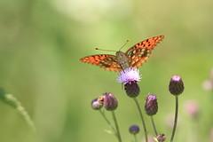 ooo (Helena Medunová) Tags: nature butterfly butterflies motýl motýli cz czechrepublic lepidoptera insecta insects insect cvrčovice moravia