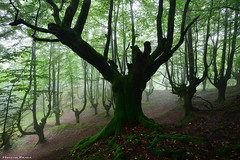 Guardians of the forest (Hector Prada) Tags: bosque niebla hayedo árbol hojas atmósfera encantado mágico musgo forest fog beech tree leaves atmosphere mood moss enchanted charmed creepy naturaleza nature paísvasco basquecountry