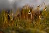 Small drop (pstenzel71) Tags: moos natur pflanzen tropfen drop moss snow schnee winter darktable bokeh samsungnx