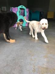 23905353_2005515306396010_5211580708562693175_n (natedetienne) Tags: ash tibetan mastiff puppy tm