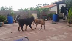 24852108_10214590356099548_5457729043154091190_n (natedetienne) Tags: ash tibetan mastiff puppy tm