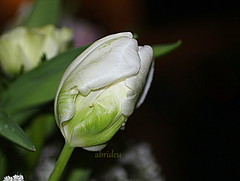 Tulip (abrideu) Tags: abrideu canoneos100d white tulip macro depthoffield bright bokeh flower flowers plant indoor ngc
