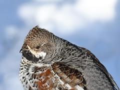 Tetrastes bonasia (kaius.artimo) Tags: tetrastesbonasia hazelgrouse male pyy helsinki protectinghisterritory attackingonme angrybird
